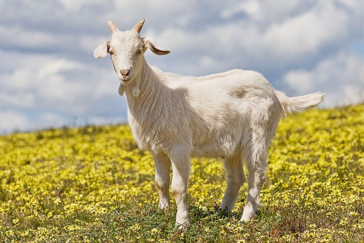 1200px-Domestic_goat_kid_in_capeweed