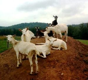 Wayside Goats